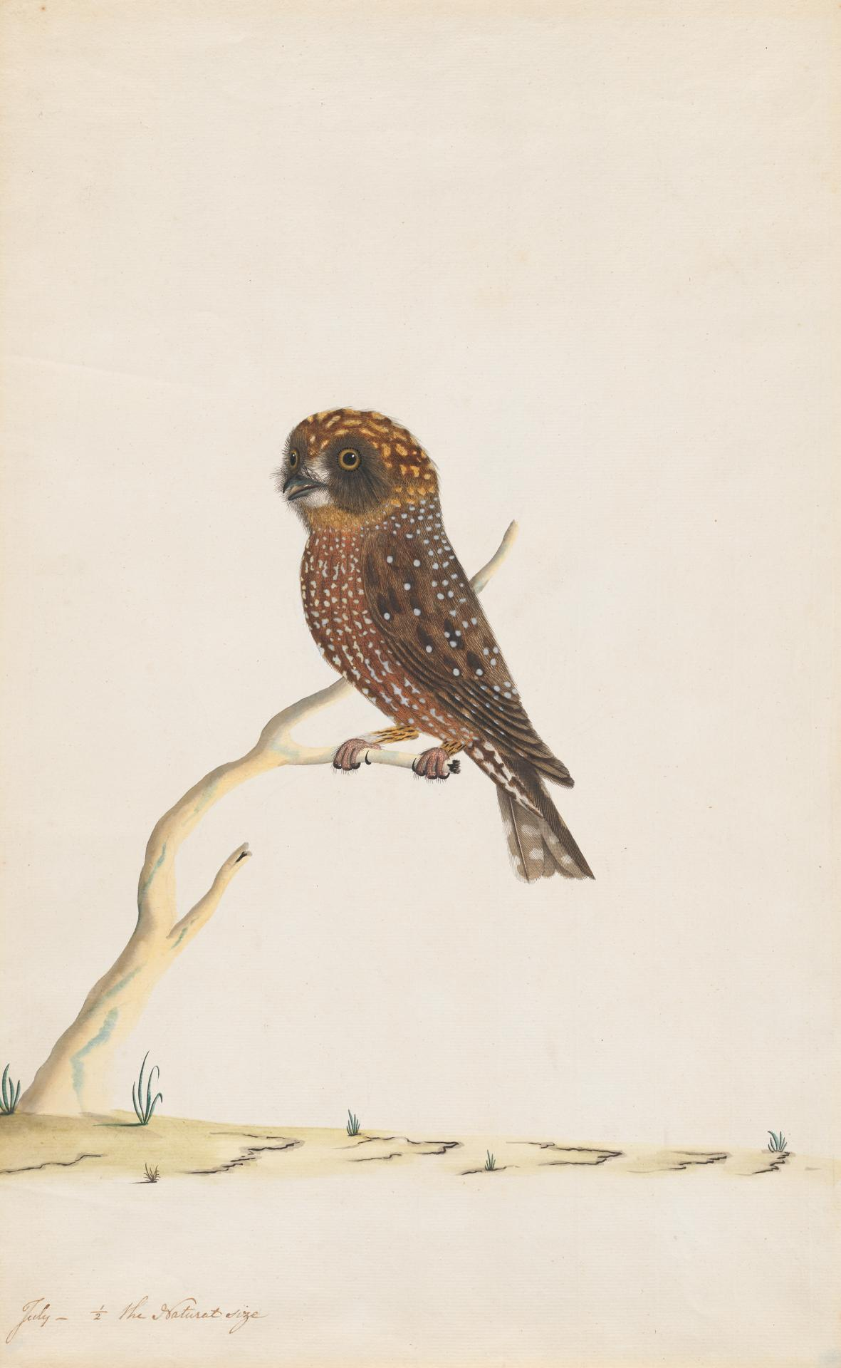 THE SYDNEY BIRD PAINTER Boobook owl (c. 1790-1800)