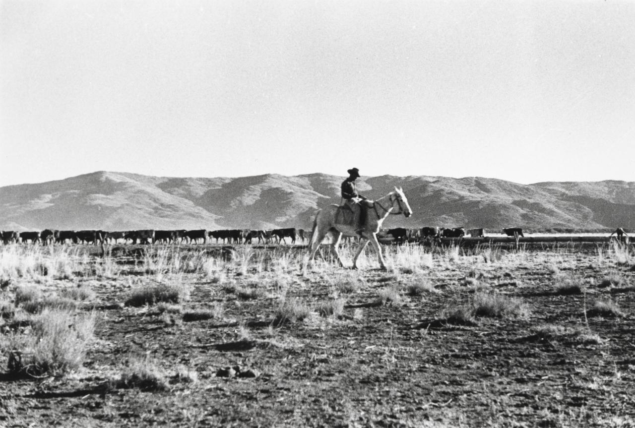 Holding Overlanders cattle, MacDonnell Ranges, N.T.