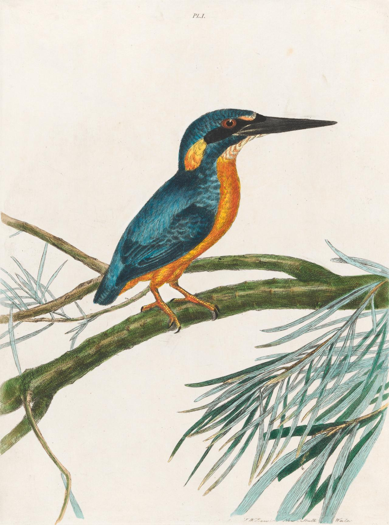 Three-toe King-fisher (Azure Kingfisher)