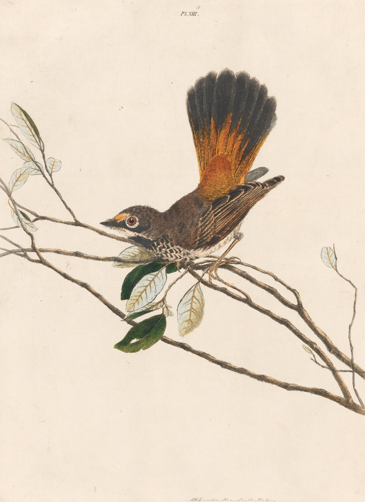 Orange-rump Fly-catcher (Rufous Fantail)