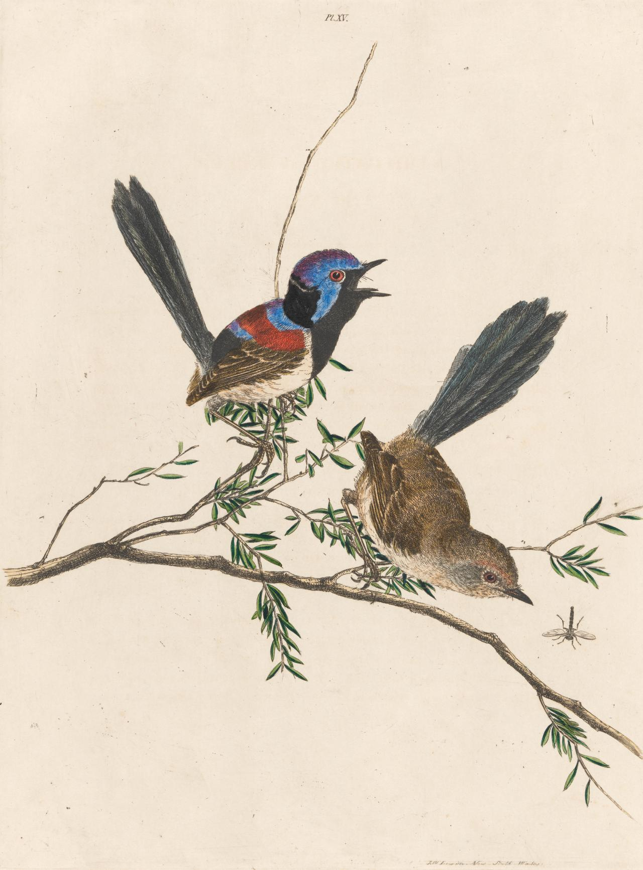 Variegated Warbler (Variegated Fairy-wren)