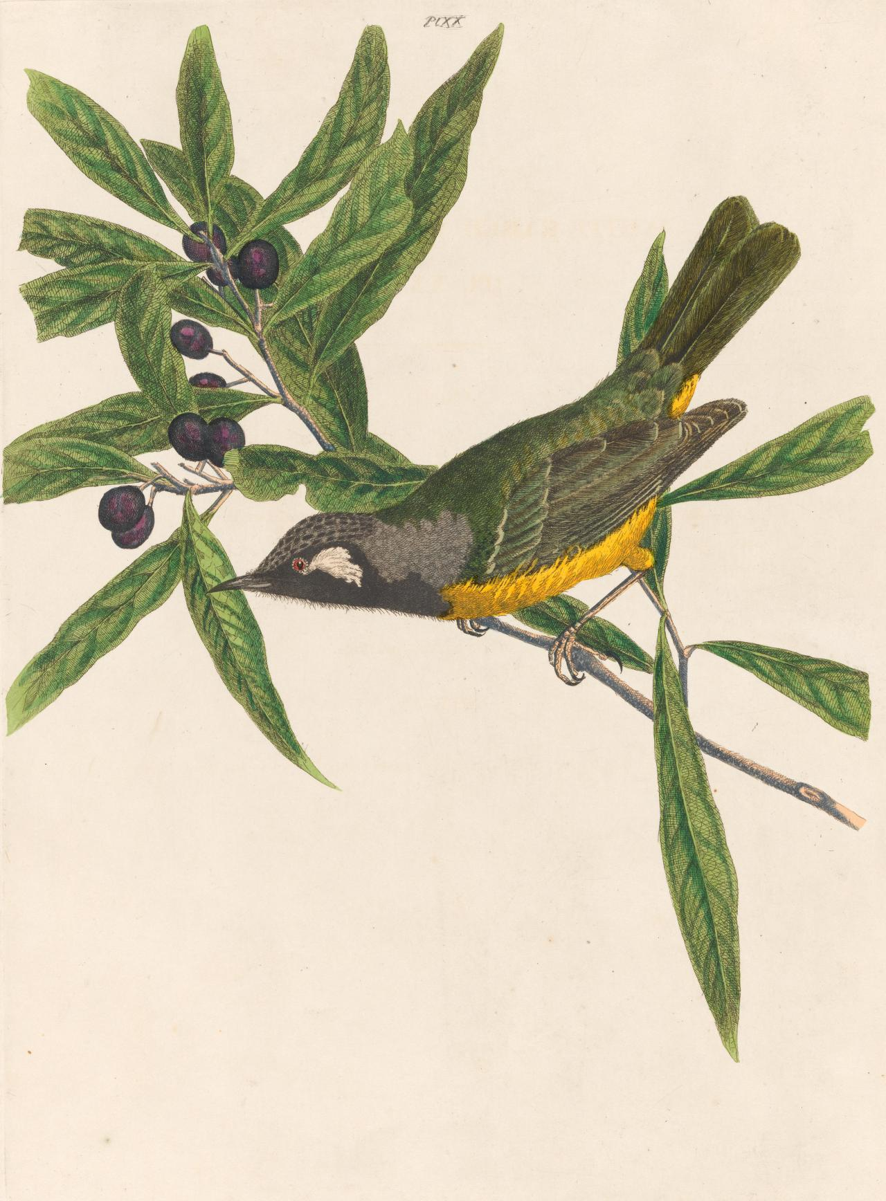White-eared Honey-sucker (White-eared Honeyeater)
