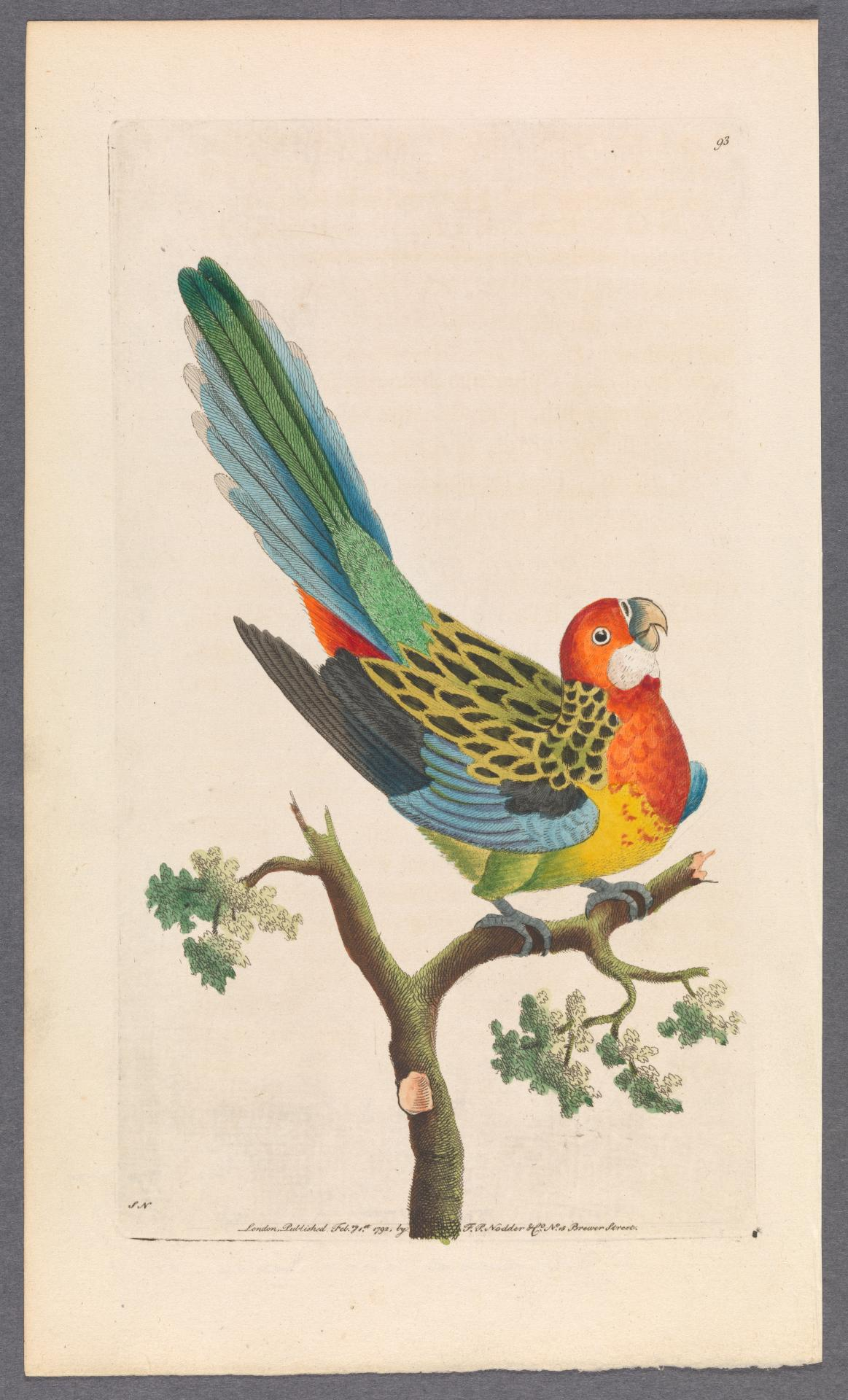 The Nonpareil Parrot (Eastern Rosella)