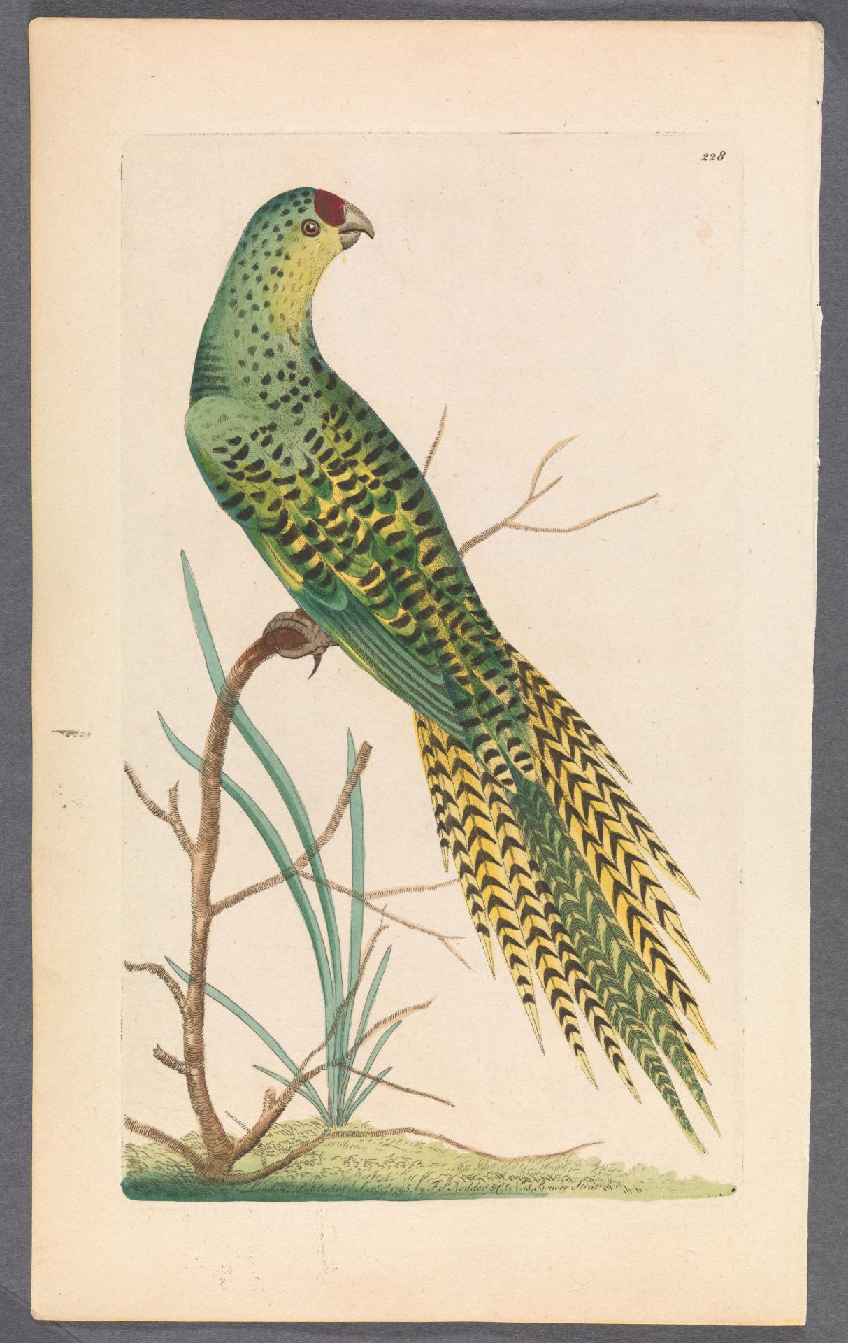 The Ground Parrot