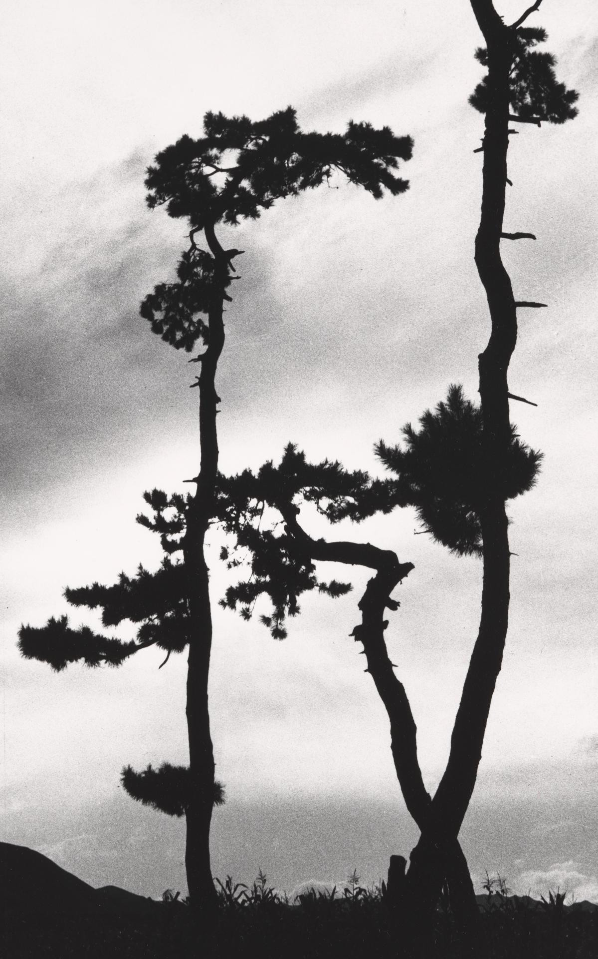 No title (Three gnarled pines)