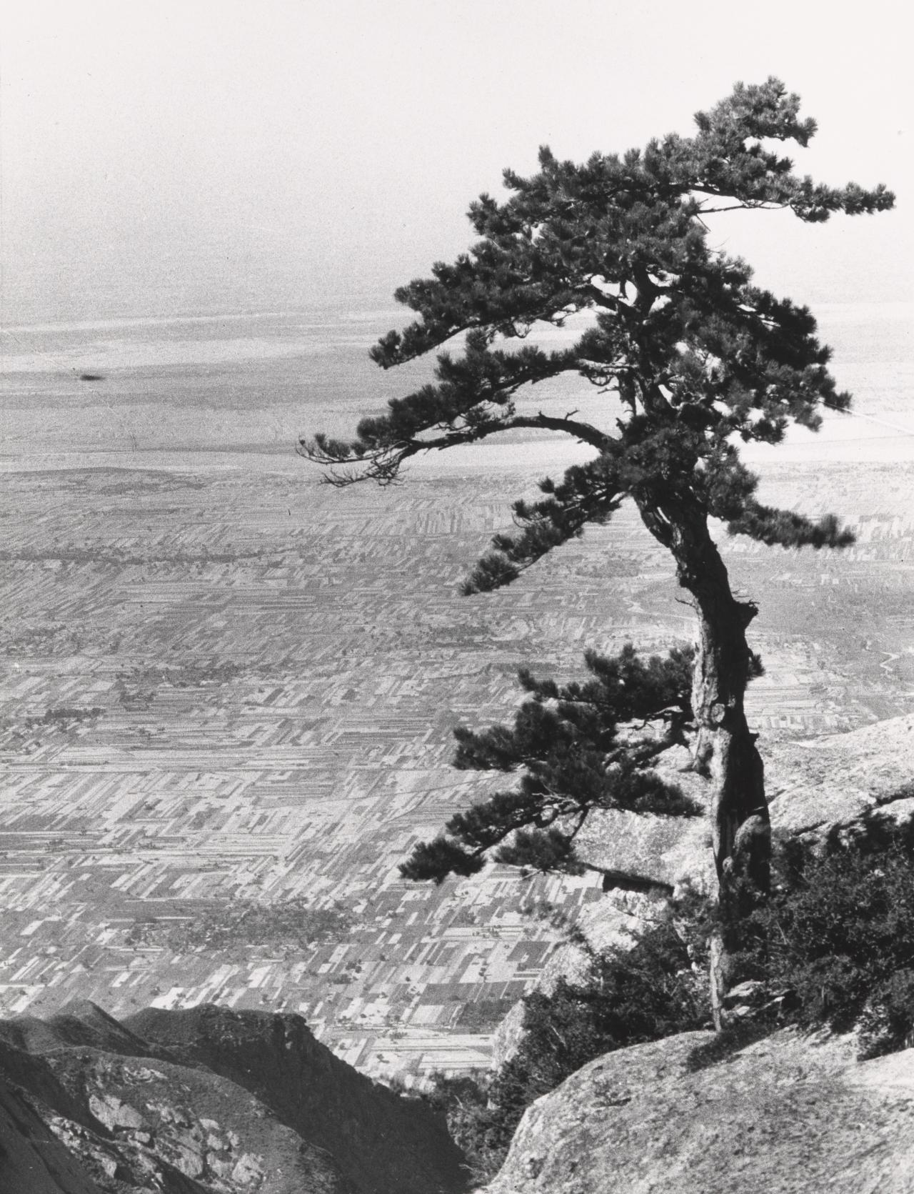No title (Pine tree above the Yellow River plain)