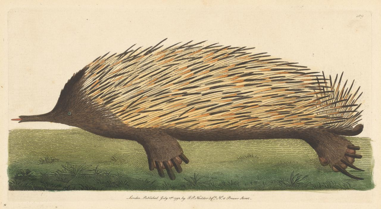The Porcupine Ant-Eater (Echidna)