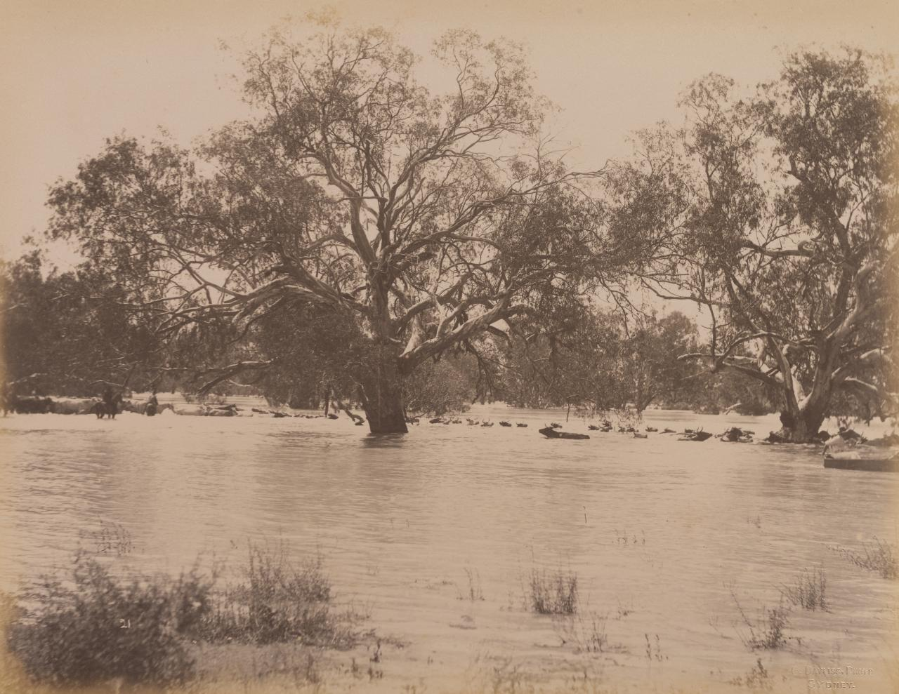 Mob of 1000 bullocks crossing Darling River near Wilcannia (second view)