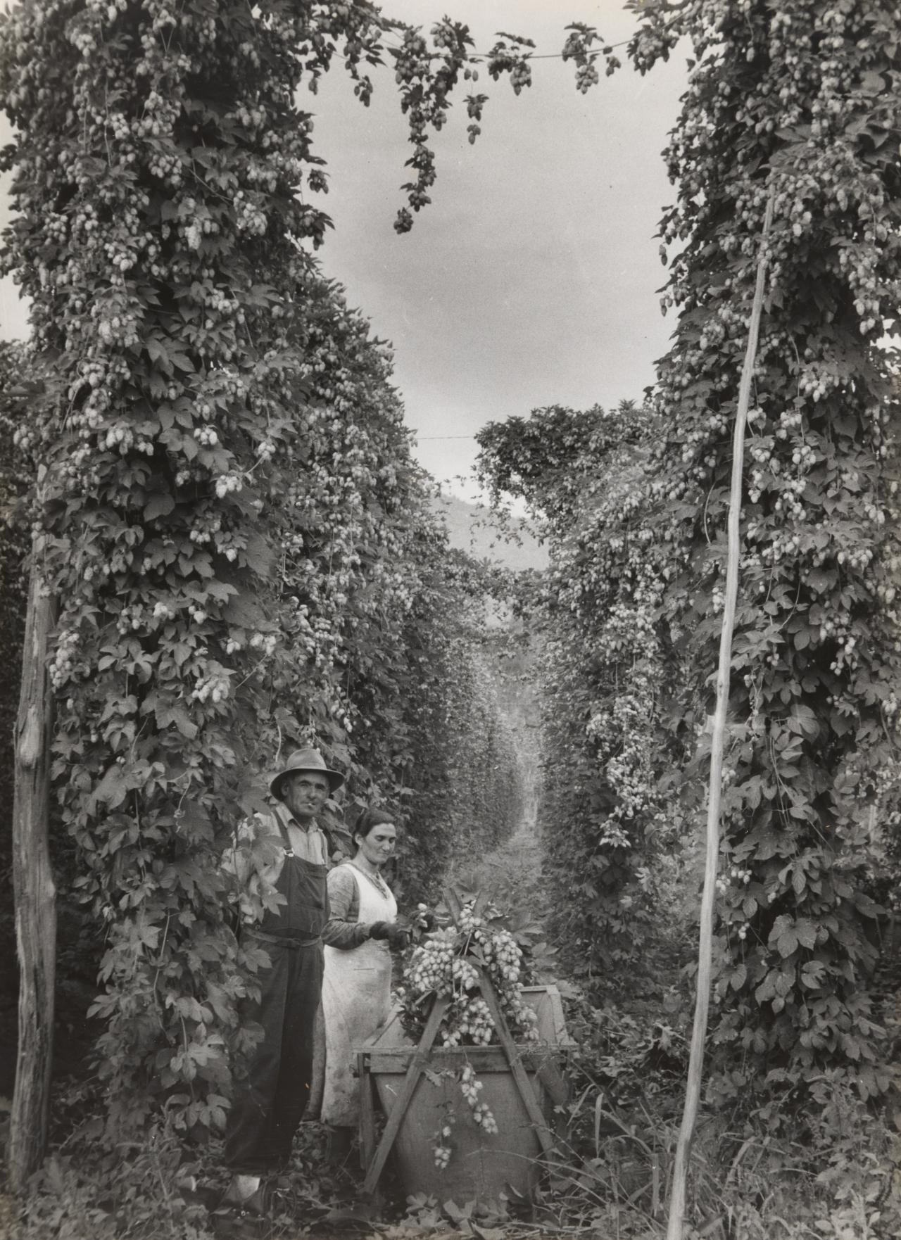 Hop pickers at Rostrevor hop garden in Victoria's picturesque Ovens Valley.
