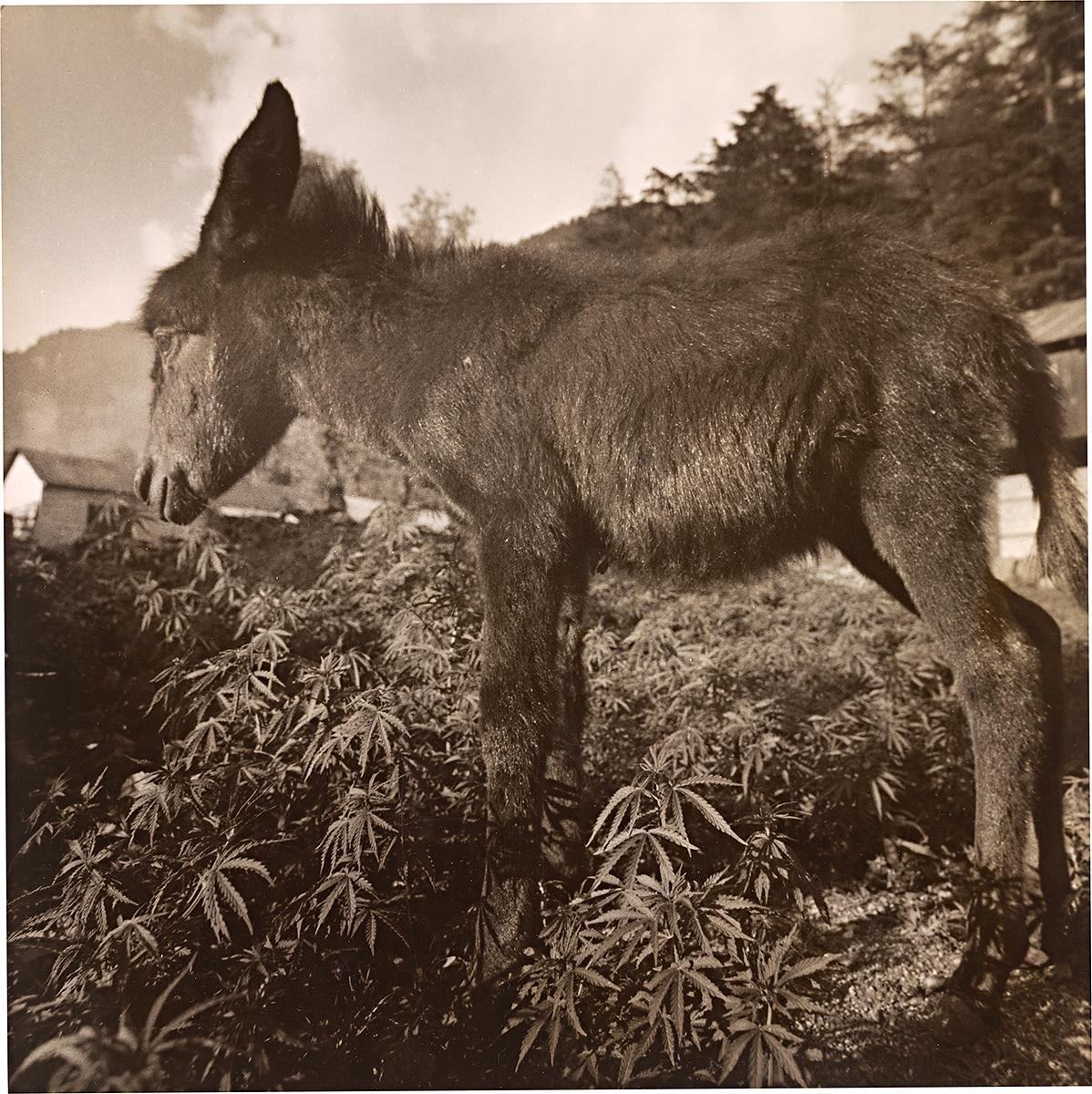 Small donkey growing up in marijhuana, Manali 1977