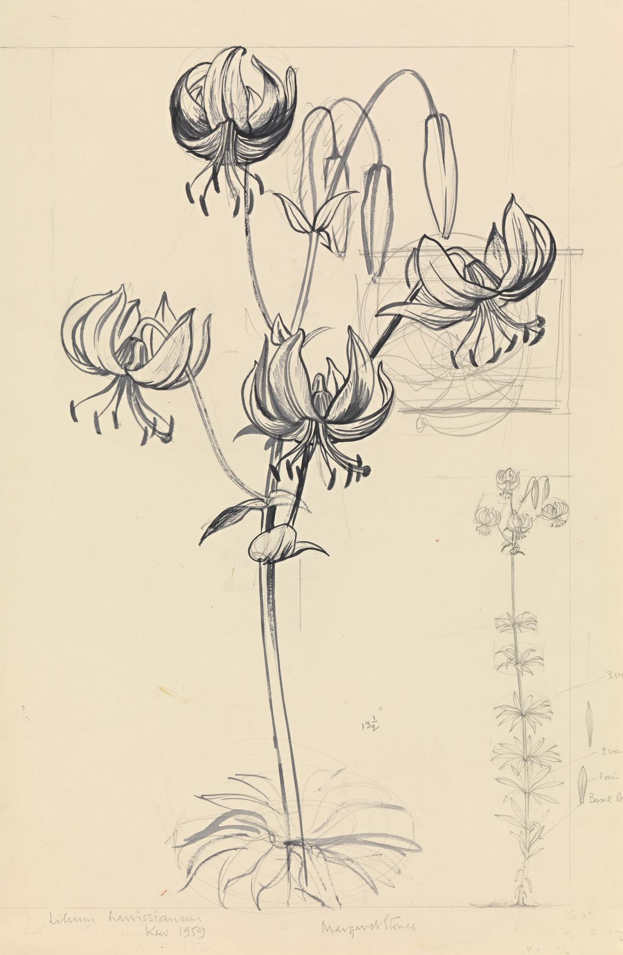 Working drawing for Lilium harrissianum