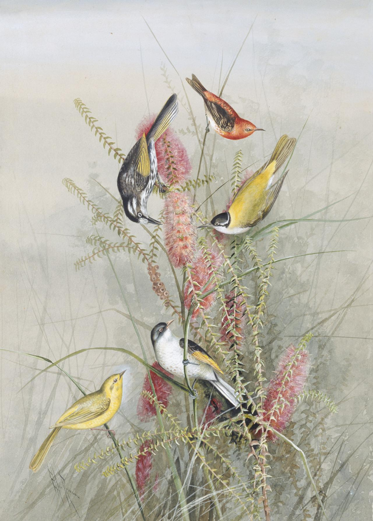 Five warblers in a Banksia bush