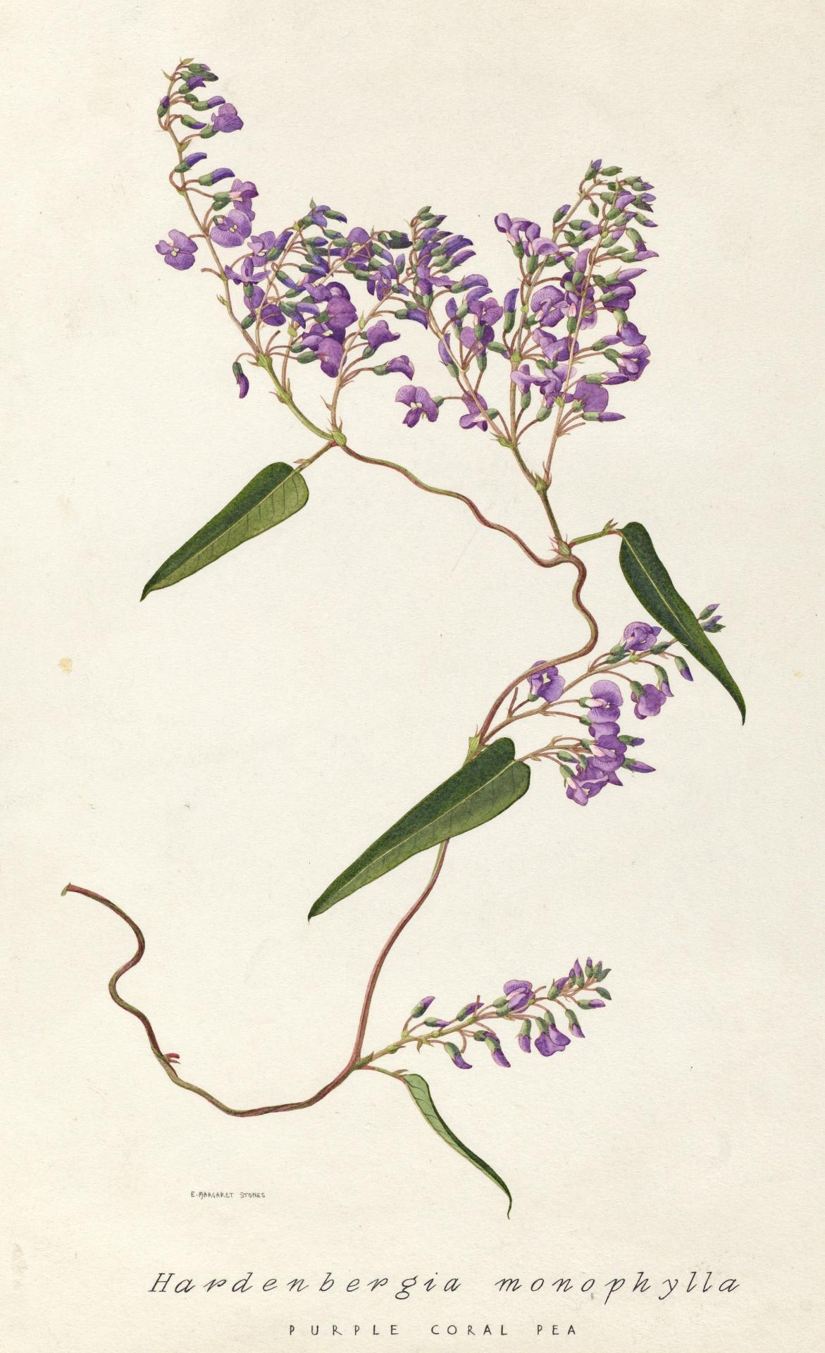 Hardenbergia monophylla (Purple coral pea)