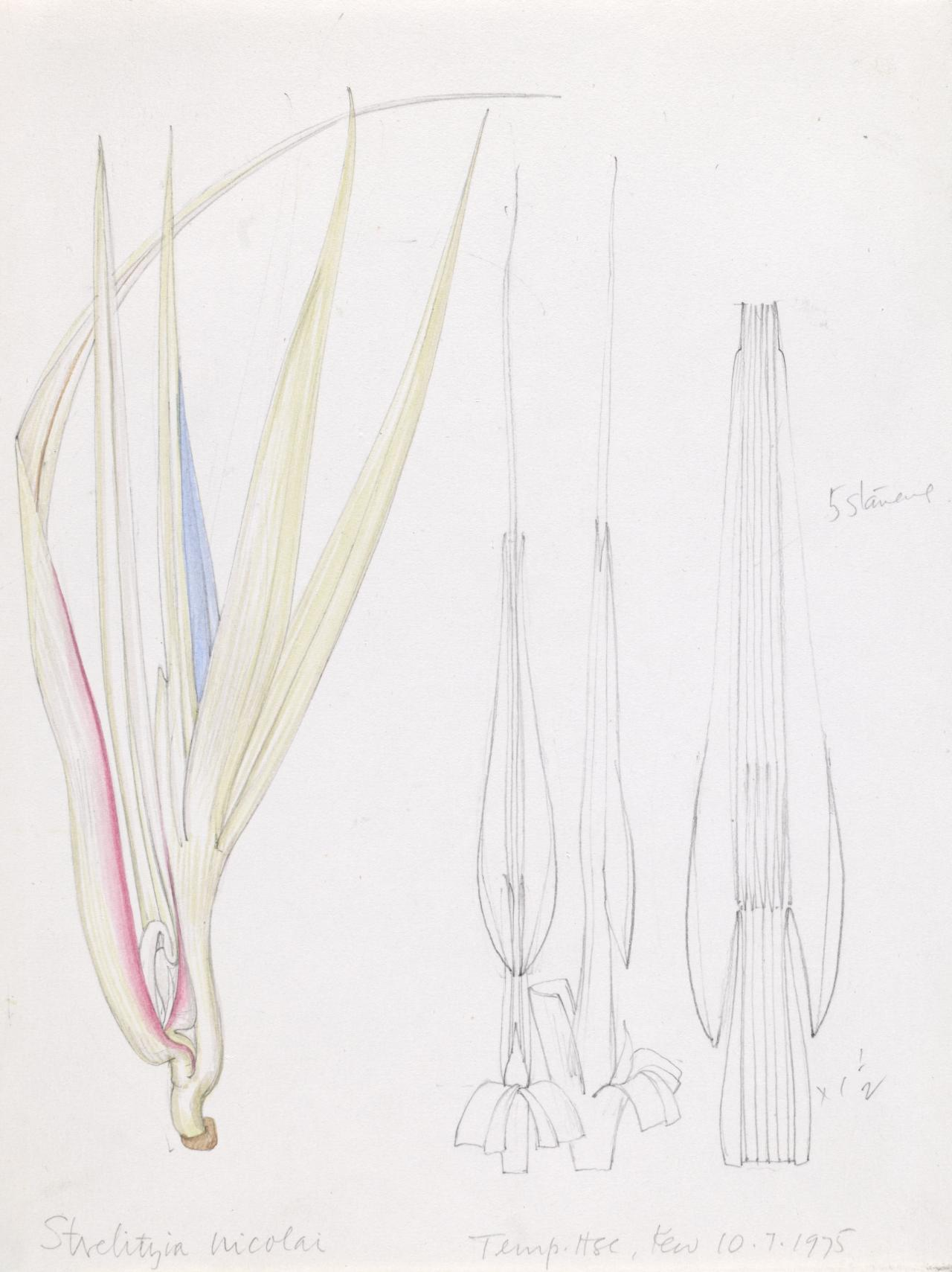 Working drawing for Strelitzia nicolai
