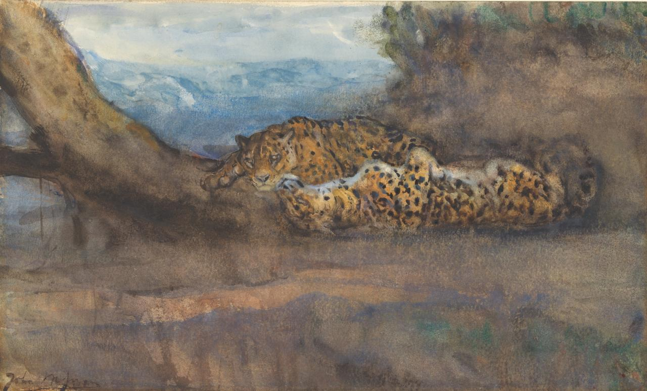 The Leopard's siesta