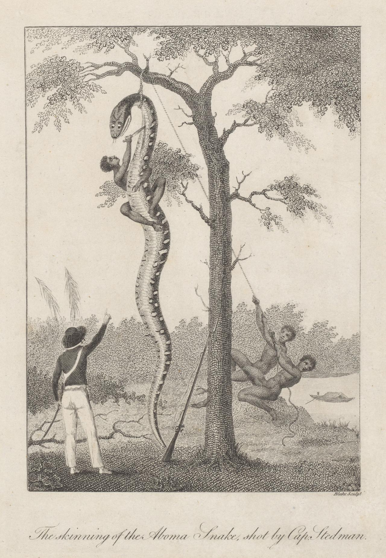 The skinning of the Aboma Snake shot by Cap. Stedman