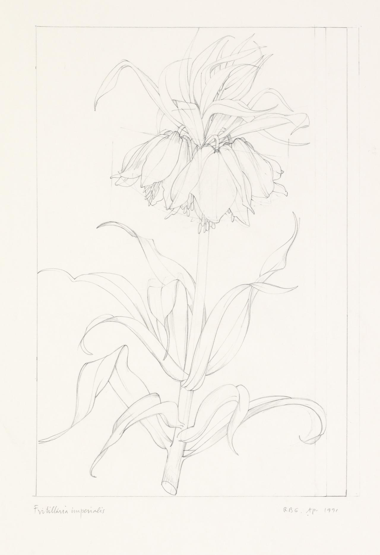 Working drawing for Fritillaria imperialis