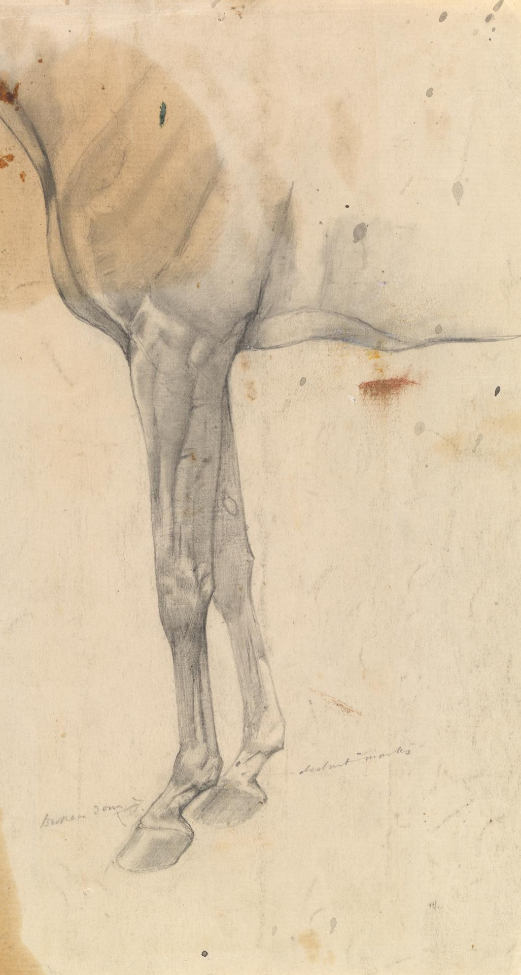 Study of the foreleg of a horse Eurythmic
