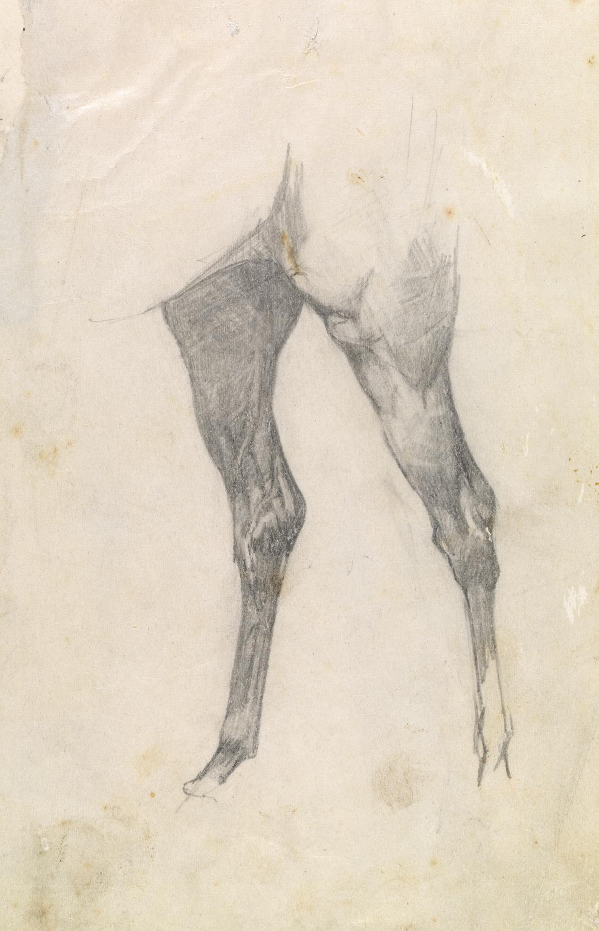 Study of hind legs of a horse