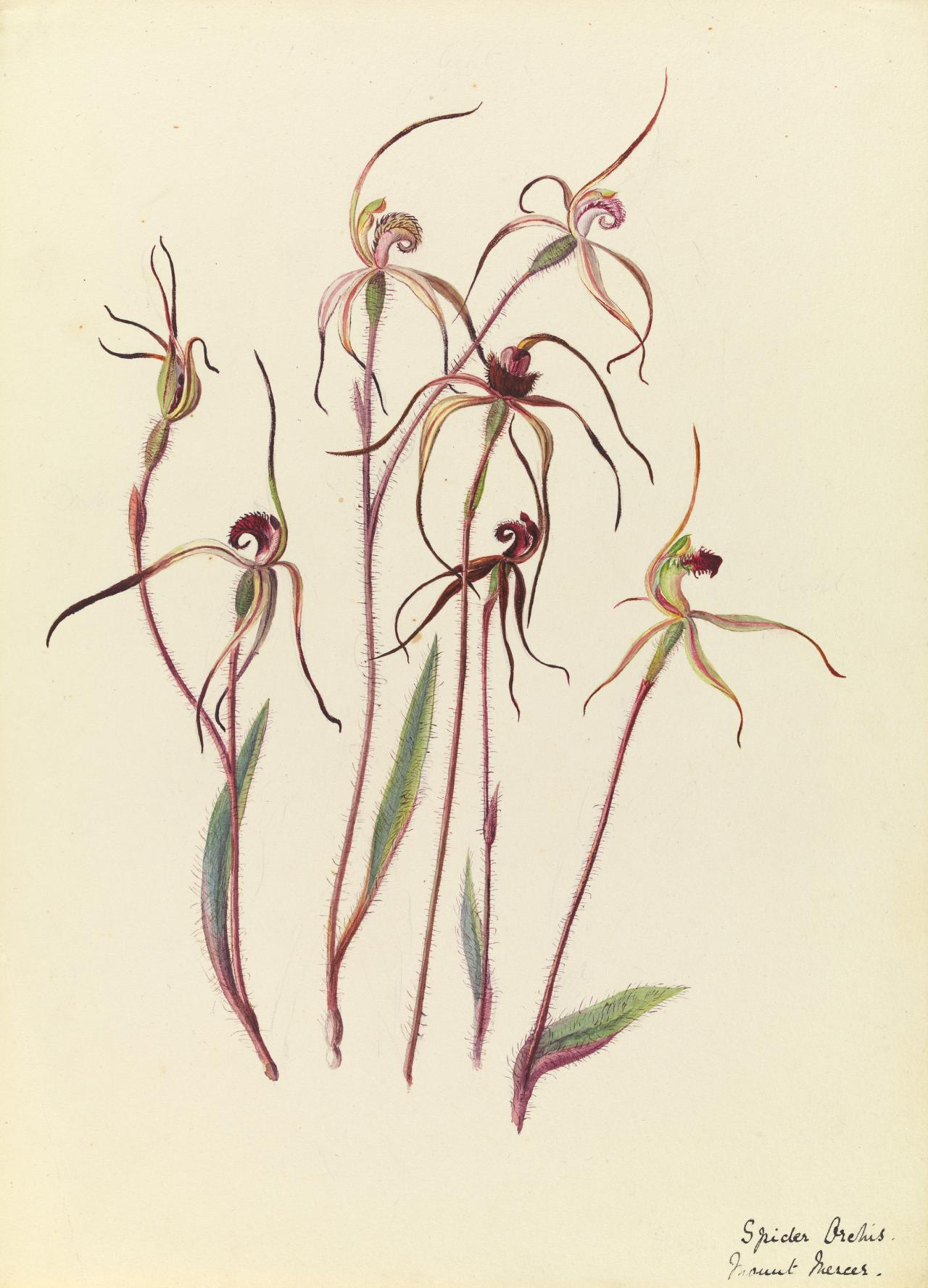 Spider Orchid, Mount Mercer