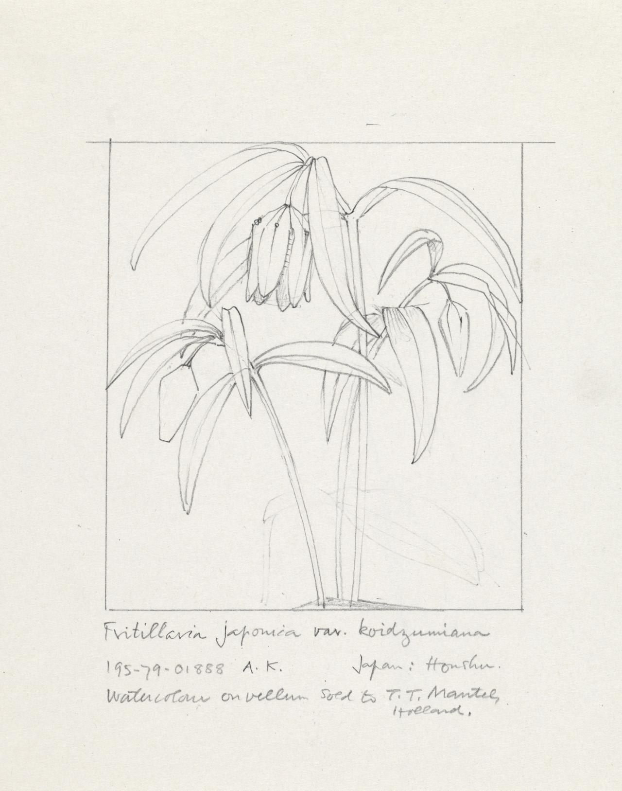 Working drawing for Fritillaria japonica var. koidzumiana