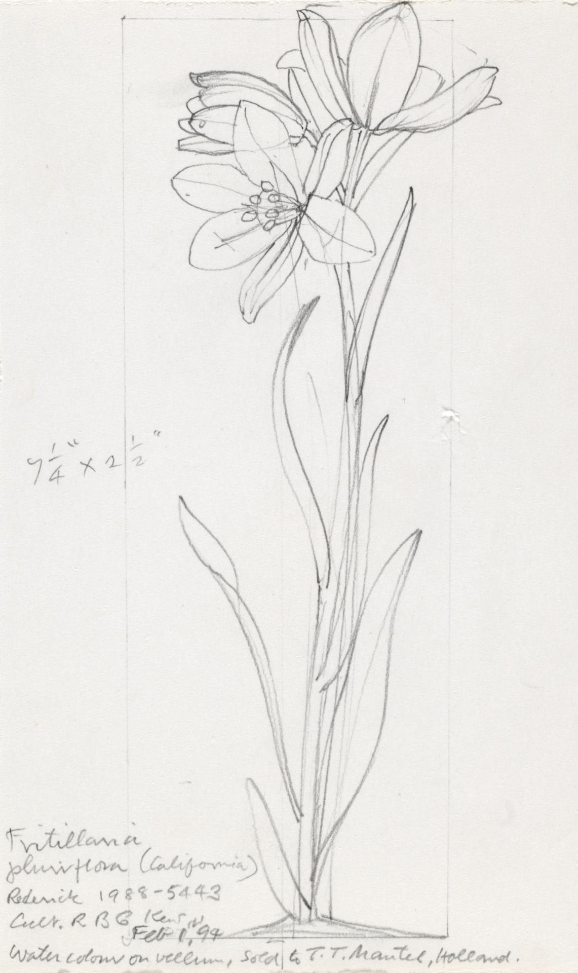 Working drawing for Fritillaria pluriflora