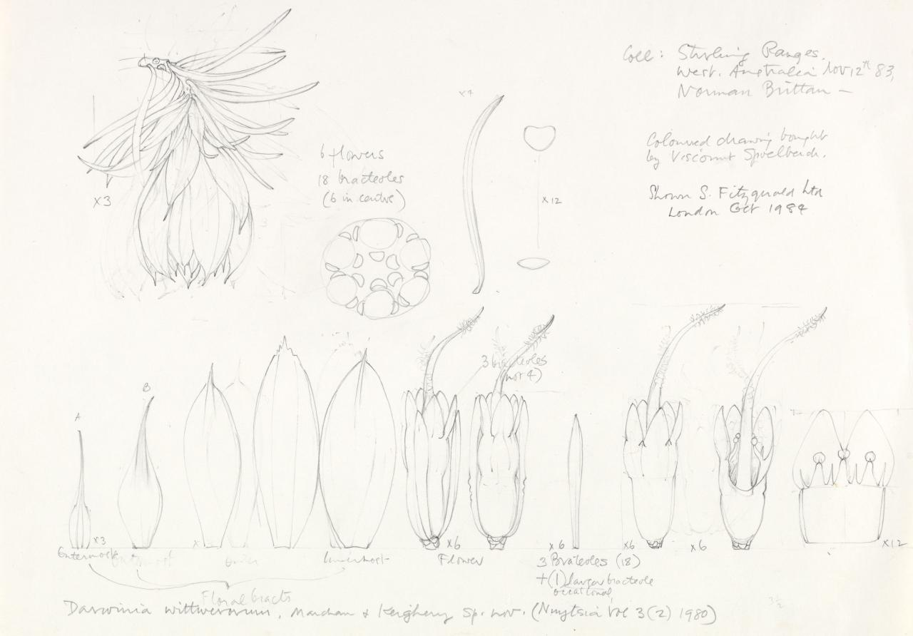 Working drawing for Darwinia wittwerorum