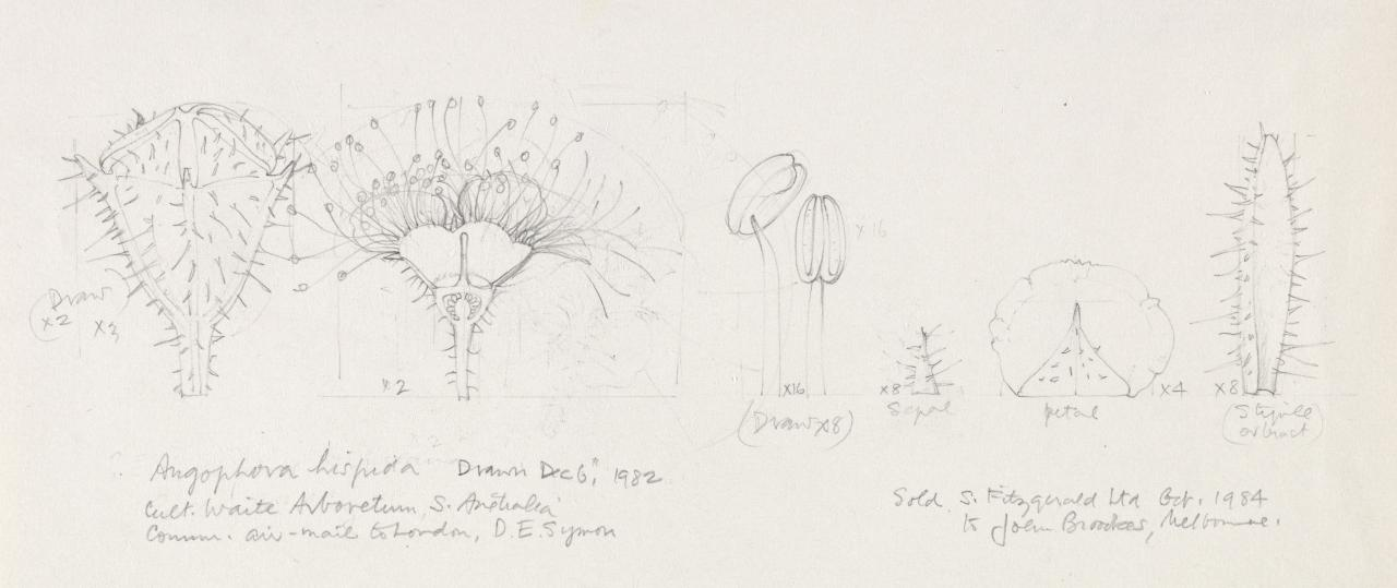 Working drawing for Angophora hispida