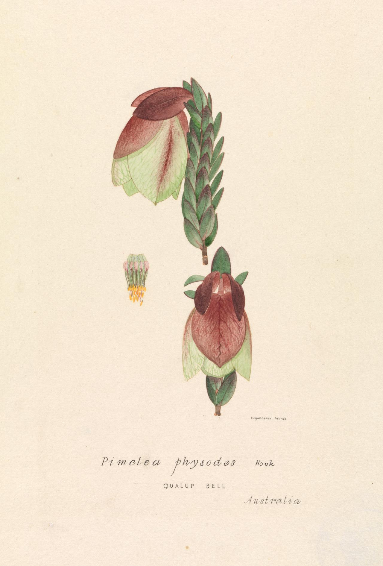 Pimelea physodes qualap bell