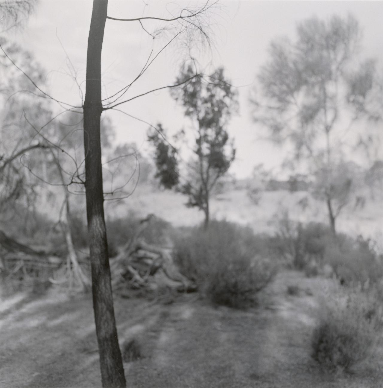 No title (Young trees, dark trunk in foreground) from the Black Range series, 1986-96
