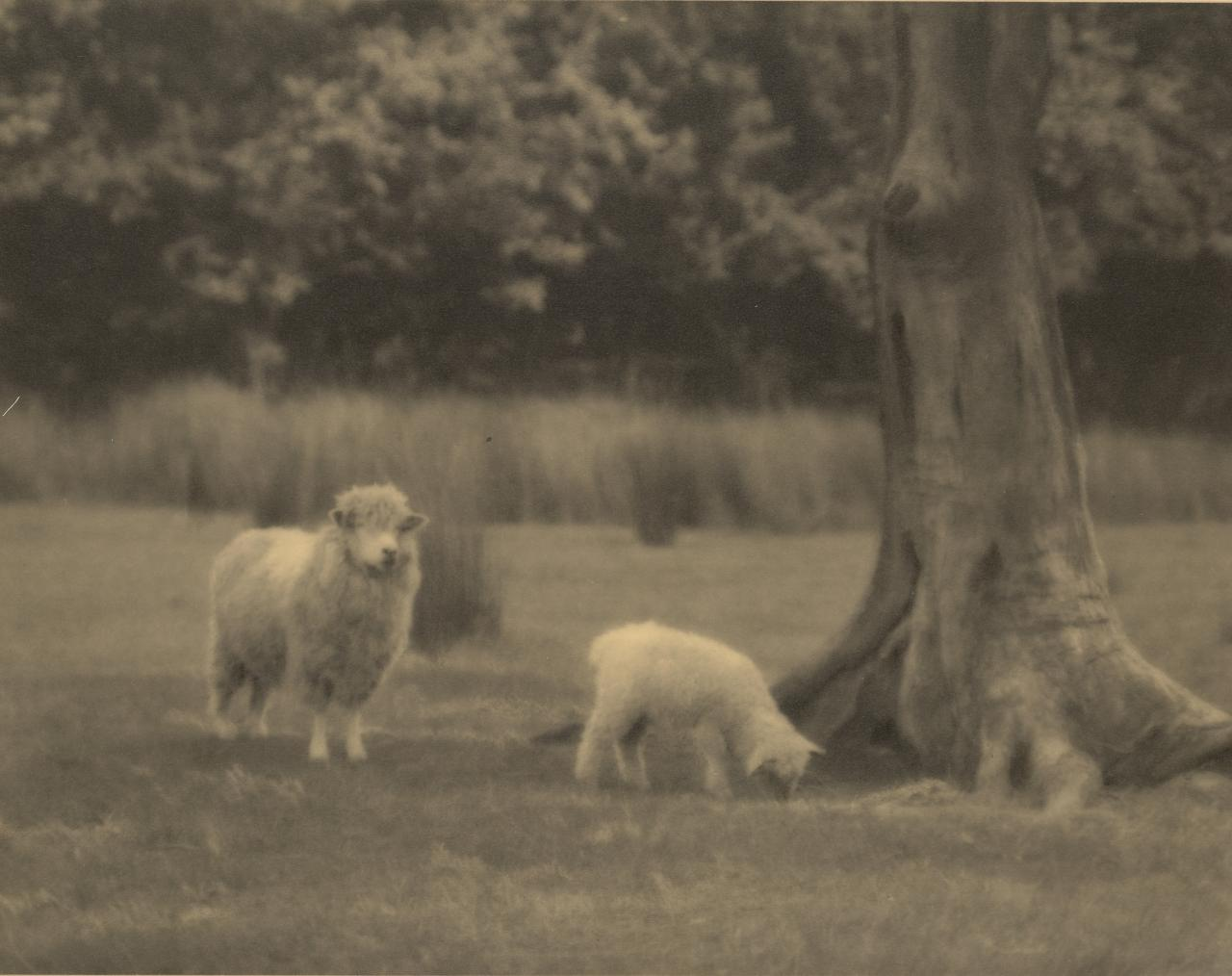 No title (Two sheep grazing by a tree)