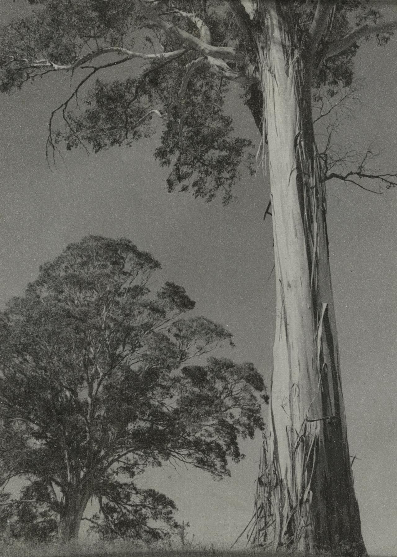 No title (Two gum trees)