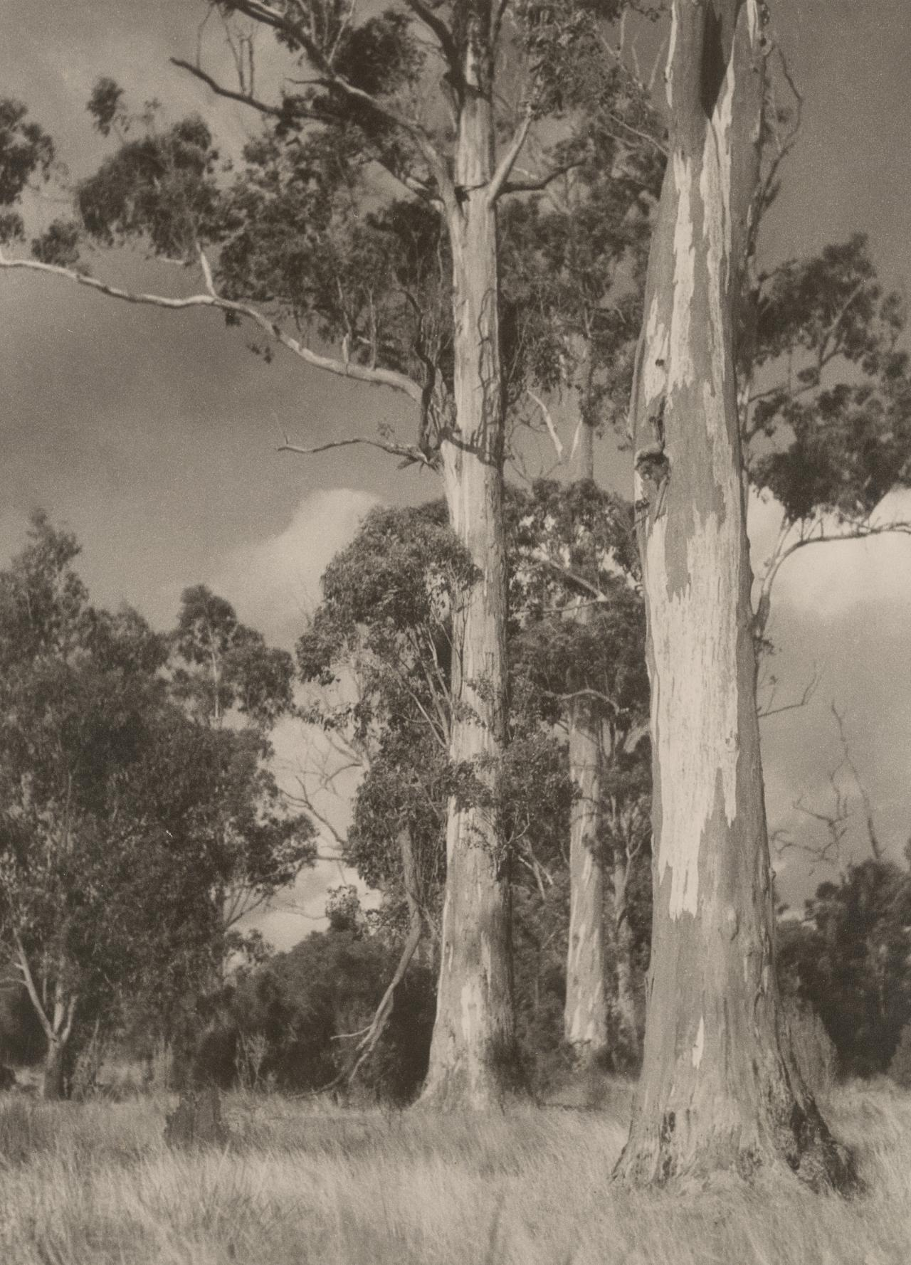 No title (Landscape with three gum trees)