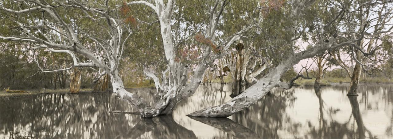 Flooded Gum, Katarapko Creek, Murray River National Park