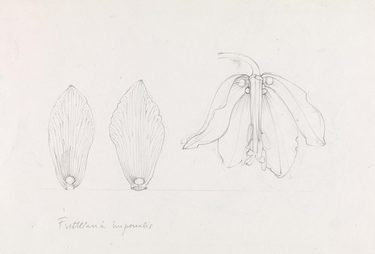 Working drawing for Fritilaria imperialis