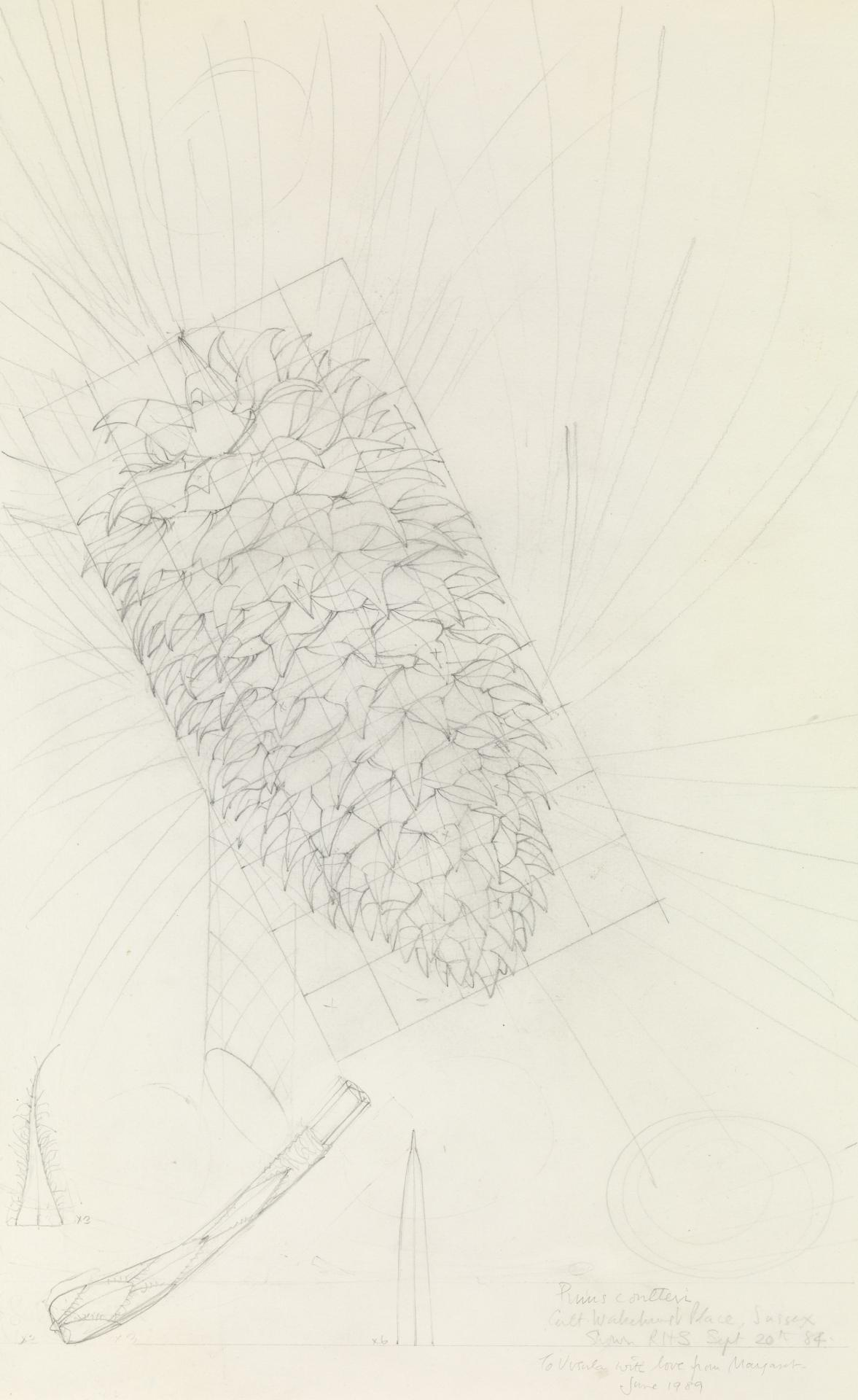 Working drawing for Pinus coneteri