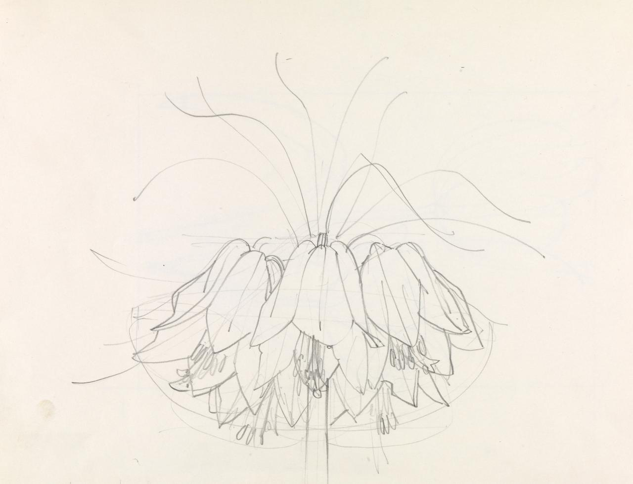 Untitled working drawing (Frittilaria imperialis?)