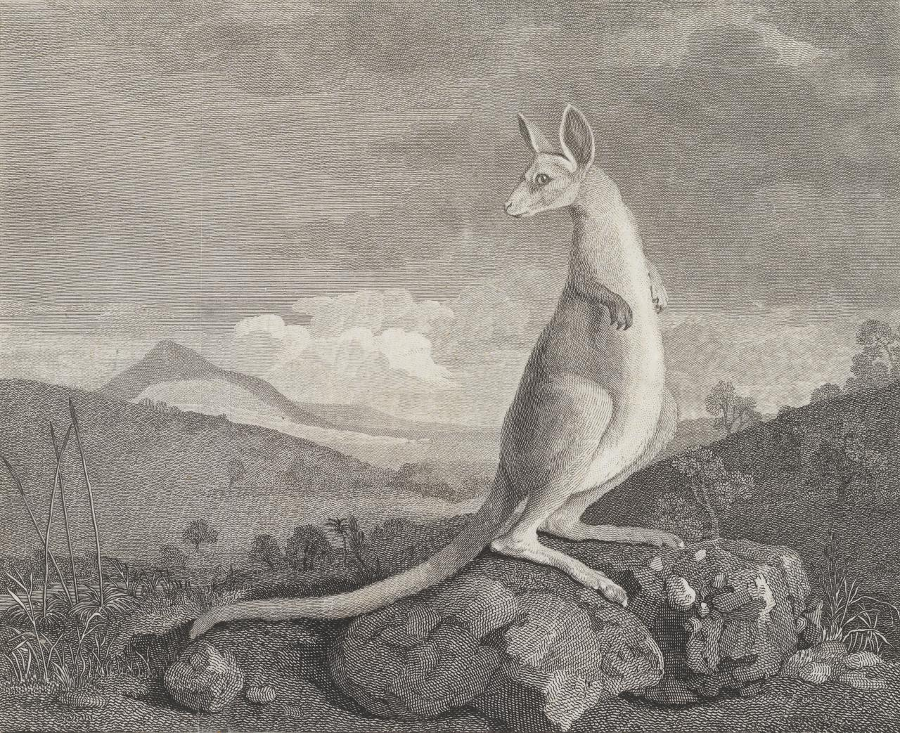 The kanguroo, an animal found on the coast of New Holland