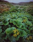 Macquarie Island Cabbage (Stilbocarpa polaris), Macquarie Island